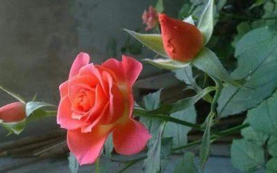 Une rose pour soutenir l'action de Carême